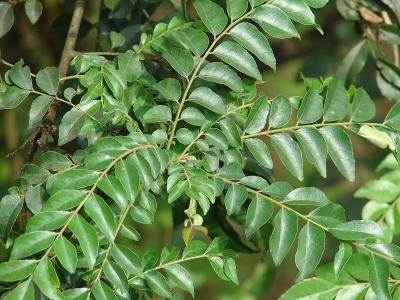 curry leaf or kaloupile